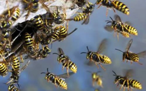 Гнездо осы: строение и уникальные свойства